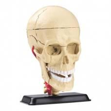 Набор для исследований Модель черепа с нервами сборная, 9 см